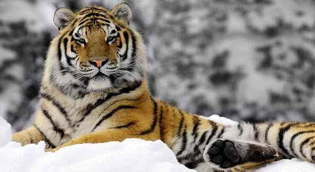 10 Siberian Tiger Facts That Would Show They Are Soon to Be Extinct