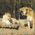 10 Animal Cross Breeds That Will Blow Your Mind Away. The Liger or Tigon is Just One of Them