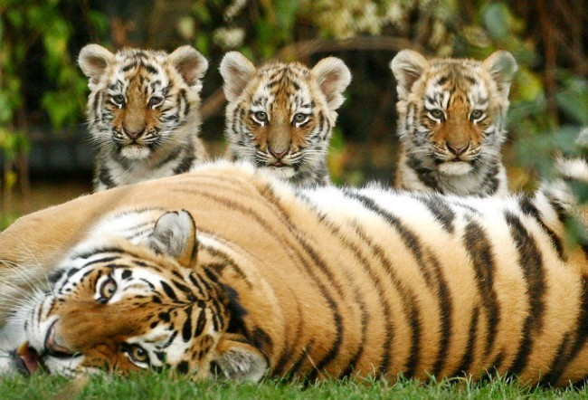 Female Siberian tigers only produce five cubs.