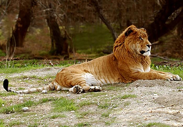 Liger or Tigon