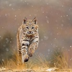 What Does a Bobcat Sound Like?
